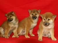 成都狗狗之家長期出售高品質 柴犬 售后無憂
