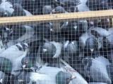 长期出售鳄鱼苗.鸽子