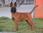 本地卖较好的马犬幼犬! 大型养殖场出售