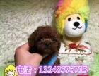 诚信犬舍出售纯种泰迪幼犬可上门挑选,保证纯种健康