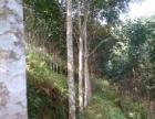 已开割橡胶树三千棵