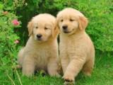 出售纯种美系大头宽嘴金毛宠物狗狗 纯种金毛巡回