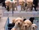 高品質拉拉犬 免費送貨到家 售后簽訂協議 全天看狗
