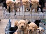 出售拉布拉多幼犬嘴宽骨量大性格温和健康保证