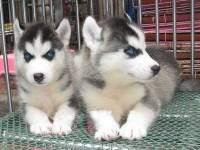 杭州萌宠哈士奇西伯利亚雪橇犬 冠军品质繁育 可上门挑选