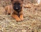 重庆马犬幼犬多少钱一只重庆哪里有卖马犬 马犬价格