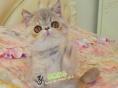 纯种加菲猫活体 净梵加菲猫活体幼猫 梵文加菲猫纯种