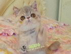 纯种加菲猫活体 净梵加菲猫活体幼猫 梵文加菲猫