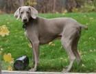 精品 纯种威玛猎犬 幼犬 可送货上门 疫苗驱虫已做过