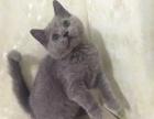 猫舍直销家养大脸蓝猫八字脸蓝白 纯种健康 公母均有
