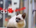 纯种 暹罗 幼猫海豹色和蓝宝石色3折出售