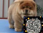 松狮俱乐部 松狮幼犬多少钱一只 松狮图片