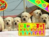 拉布拉多 可议价 股票 签协议 看狗父母 可送货