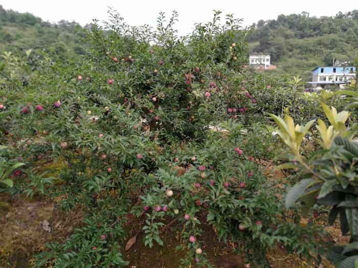 五月脆李子价格 20条路线 到重庆老幺生态枇杷园