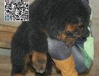 哪里出售藏獒犬 纯种藏獒犬多少钱