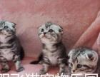 《双飞猫》半年质保放心购 精品折耳猫