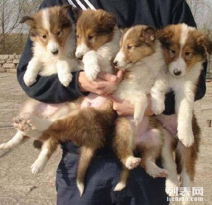 苏格兰牧羊犬幼犬 黑黄白色苏格兰牧羊犬纯种 宠物狗