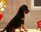 专业繁殖罗威纳养殖基地 可以来犬舍里挑选