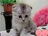 自家漂亮健康的猫咪宝宝
