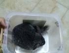标灰龙猫和黄山松鼠 两兄弟