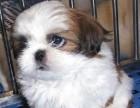 天津哪有西施犬卖 天津西施犬图片 天津西施犬多少钱