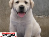 浙江杭州拉布拉多幼犬宠物狗转让 拉拉图片价格 神犬小七同款