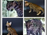 里有出售宠物猫豹猫包纯种健康送货上门