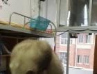宠物貂 安哥鲁 七宝