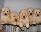 金毛犬专业繁殖 可基地挑选 签协议包健康 送用品