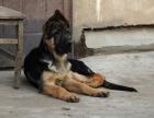 自家大狗生的一窝德国牧羊犬黑背可以来家里看大狗品相