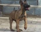 空运直销纯种比利时马犬质量健康公母都有绝对物超所值