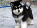 康青名犬纯种阿拉斯加幼犬多少钱纯种阿拉斯加价格阿拉斯加多少钱