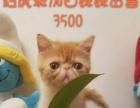 一岁半纯合子弟弟,红梵成母,三只加菲幼猫出售
