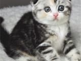 河西超肥美短加白猫全国包邮