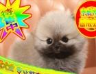 球体博美幼犬待售中—全程实拍可送货—来场可看到种公种母