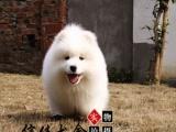 纯种微笑天使萨摩耶幼犬,雪白无水锈,骨骼粗毛量足