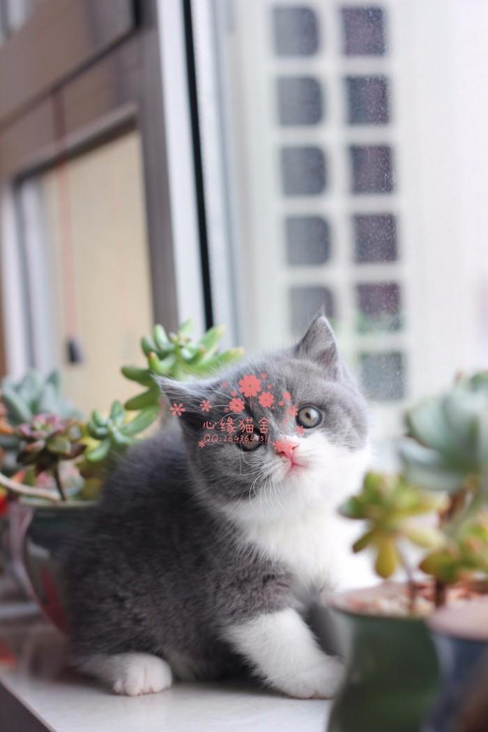 哈尔滨蓝猫多少钱 哈尔滨哪里出售的蓝猫幼犬价格较便宜