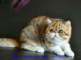 抚顺哪里有波斯猫卖 纯种 无病无廯 协议质保