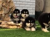 南宁出售 纯种阿拉斯加幼犬 疫苗齐全出售中 可签协议健康保障