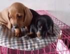 自家犬舍出售身体健康纯种腊肠犬 公母都有 价格实在