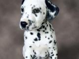 适合家庭饲养斑点狗多少钱 要纯一点的