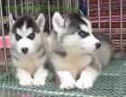 出售纯种哈士奇 哈士奇幼犬 质量好 包健康 血统保证