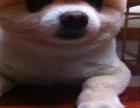 一只博美多少钱 哪里有卖博美犬的