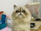 纯喜马拉雅公猫