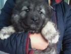 玉溪高加索犬价格纯种高加索犬多少钱一只