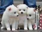 银狐犬幼犬多少钱一只 天津哪里有卖的
