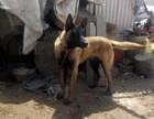自家繁殖饲养的马犬出售