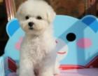 郑州养殖基地出售,博美比格巴哥法牛泰迪柯基犬等二十个品种