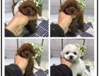 本地犬舍出售纯种泰迪犬 双血统带证书