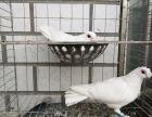 公斤元宝鸽 点子 燕子 踩背 淑女 毛领等观赏鸽出售